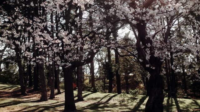 blommande körsbärsträd i full blom. - 4 kilometer bildbanksvideor och videomaterial från bakom kulisserna