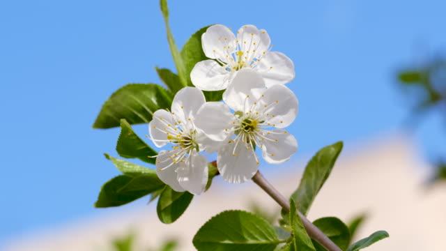 körsbärsblommor i naturen - äppelblom bildbanksvideor och videomaterial från bakom kulisserna
