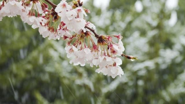 雪の中の桜 ビデオ