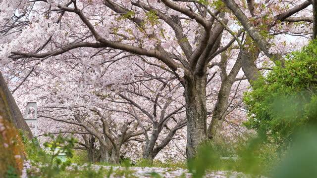 桜。低角度。 - ローアングル点の映像素材/bロール