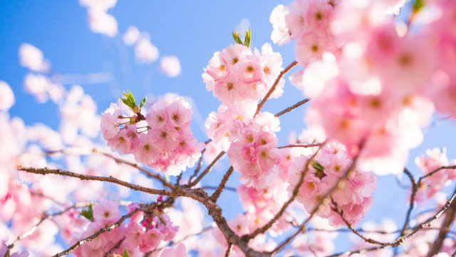 cherry blossoms on a clear sky background - cherry blossom stock videos and b-roll footage
