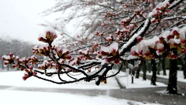 桜や雪の中での桜の芽 - 冬点の映像素材/bロール