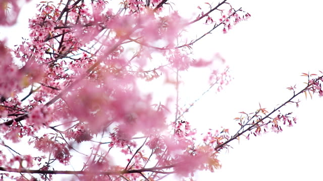 cherry blossoms or sakura flower in spring season video