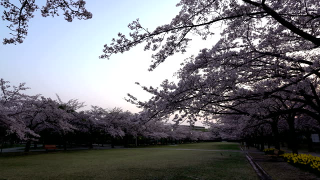 Cherry blossoms or Sakura in full bloom  with birds tweet at dawn video