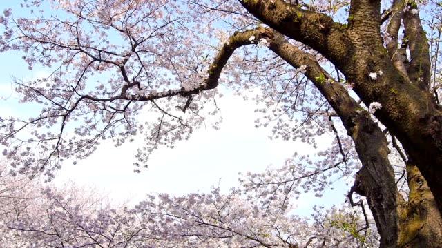 vídeos de stock, filmes e b-roll de cherry blossoms: petals outono como se neve - cerejeira árvore frutífera