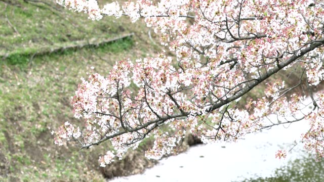 Cherry blossoms swaying in the wind by the river. video