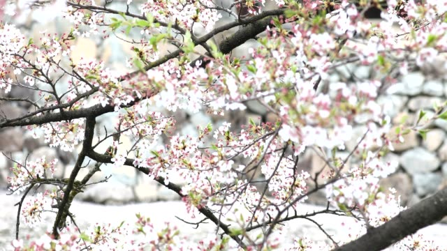 Cherry blossoms swaying in the wind by the river video