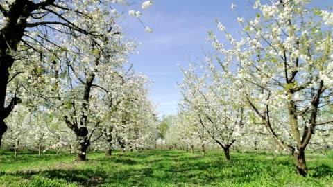fiori di ciliegio che ondeggiano nel vento. primavera nel frutteto. vista aerea - capolino video stock e b–roll