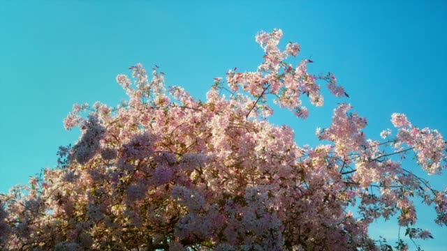cherry blossoms swaying in the wind. springtime. - colore ciliegia video stock e b–roll