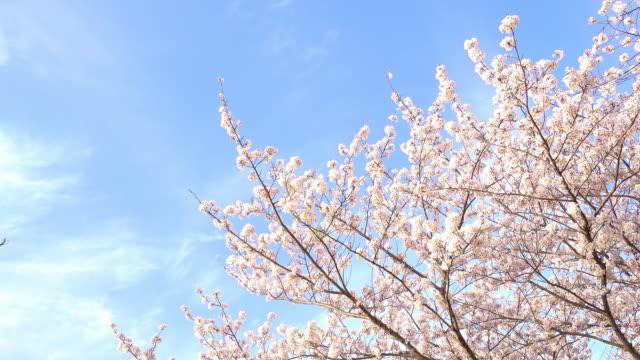 vídeos de stock, filmes e b-roll de flores de cerejeira balançando vento azul céu - cerejeira árvore frutífera
