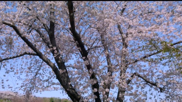 Cherry Blossoms Cherry Blossoms april stock videos & royalty-free footage