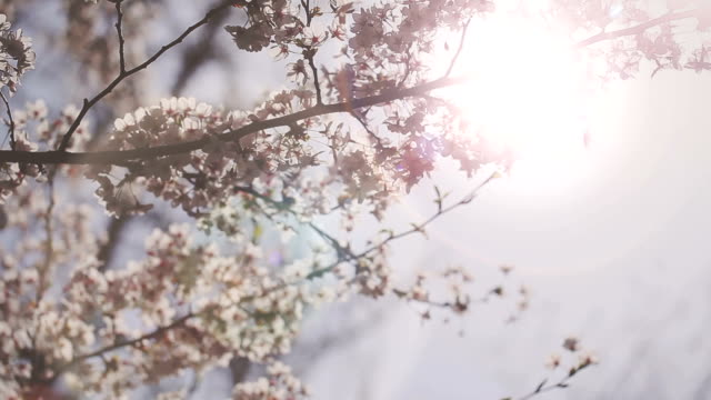HD: Cherry Blossoms video