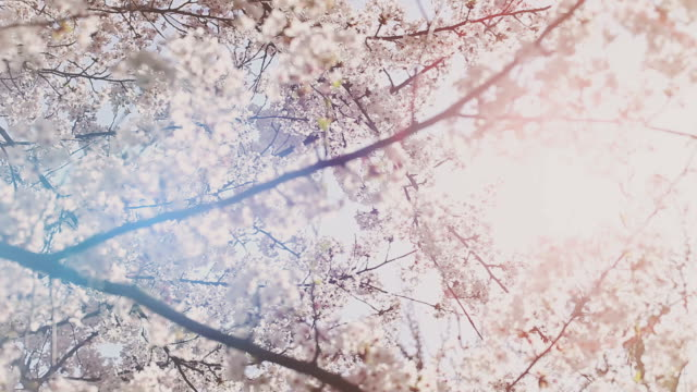 hd: cherry blossoms - kirschbaum stock-videos und b-roll-filmmaterial