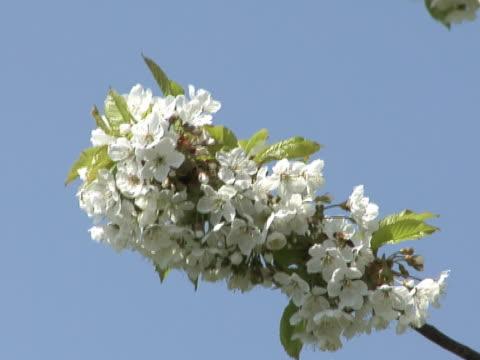 fiori di ciliegio  - parte della pianta video stock e b–roll