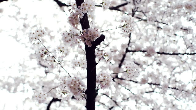 Cherry Blossoms video