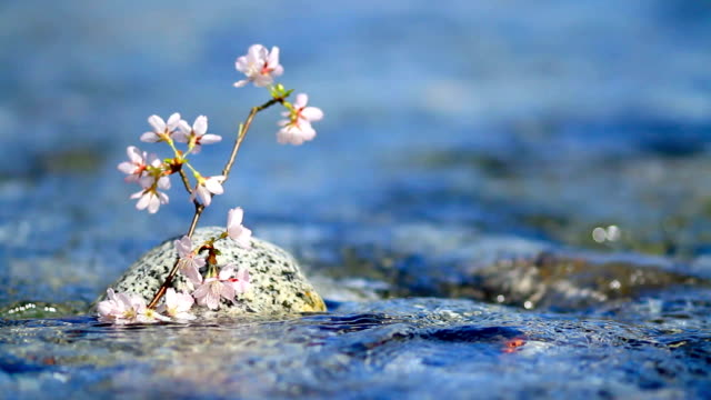 Cherry branch above water. Cherry twig in rapid stream of a mountain river.  april stock videos & royalty-free footage