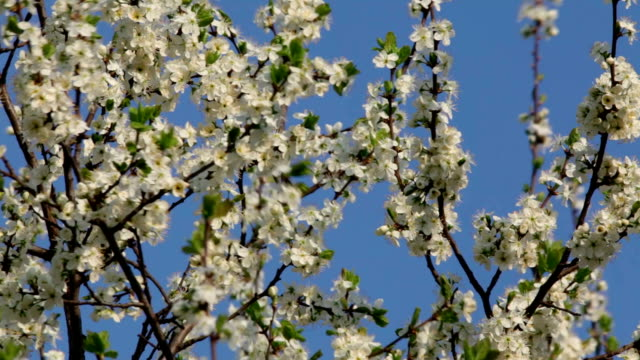 Cherry branches with white blossom and new tiny green leaves, waving in the spring wind on light blue sky background. video