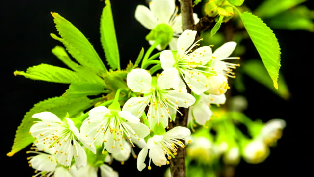 Cherry flower blooming against black background in a time lapse movie. Prunus avium growing in moving time lapse. video