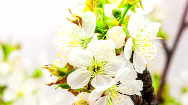 Cherry flower blooming against blue background in a time lapse movie. Prunus avium growing in moving time lapse. video