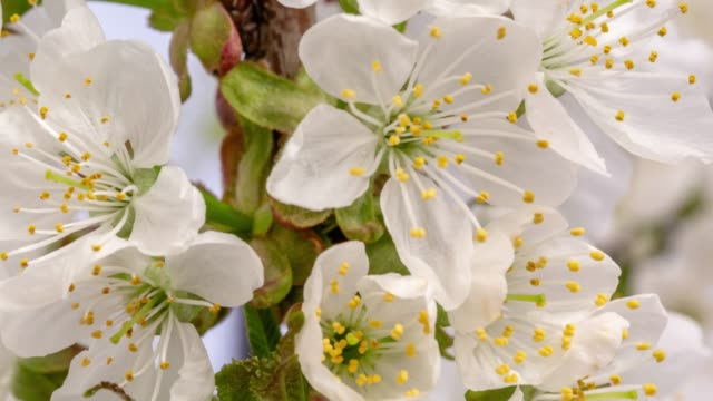 vídeos de stock e filmes b-roll de cherry flower blooming against yellow background in a time lapse movie. prunus cerasus growing in time-lapse. - stock video - flower white background