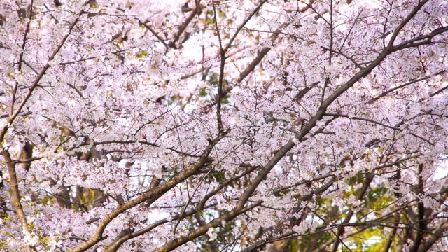 Cherry flower petals fall as if snow video