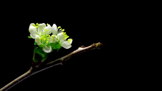 Cherry flowers blossom bud growing isolated on black background video