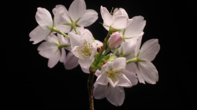 Cherry flowers blossom bud growing time-lapse video