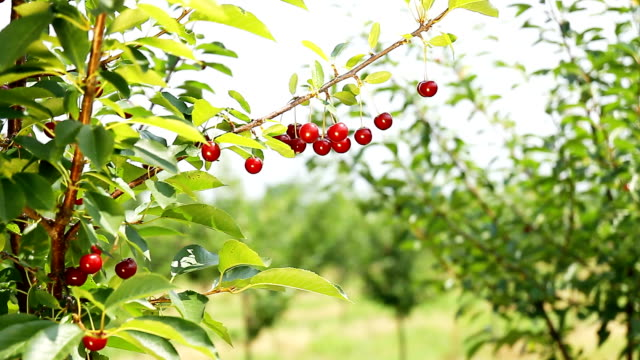 Cherry fruit in Orchard video