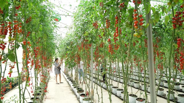 Cherry Tomatoes ripen in a greenhouse garden