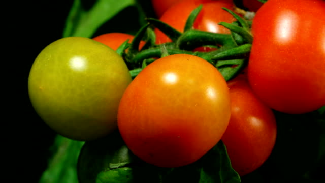 Cherry tomatos ripen