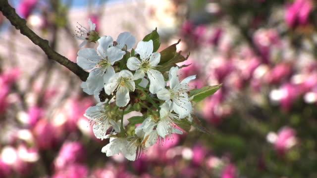 HD: Cherry tree blossoms video