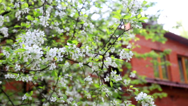 Cherry tree blossoms white flowers video