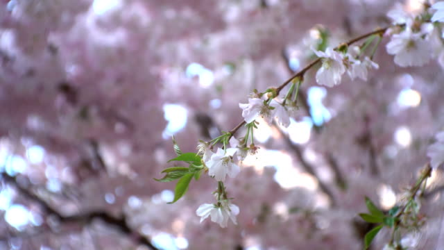 Cherry tree branch with pink flowers blossoming on it