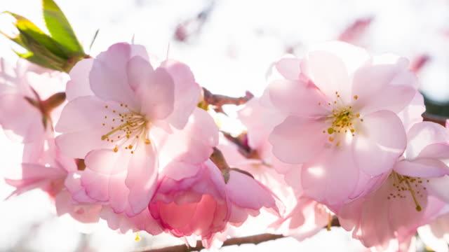 Cherry tree flower buds close-up video