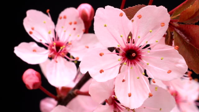 Cherry tree flowers blooming HD video