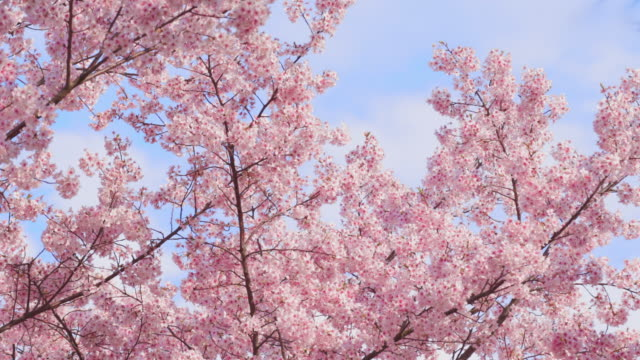 cherry tree in full bloom - spring stock videos & royalty-free footage
