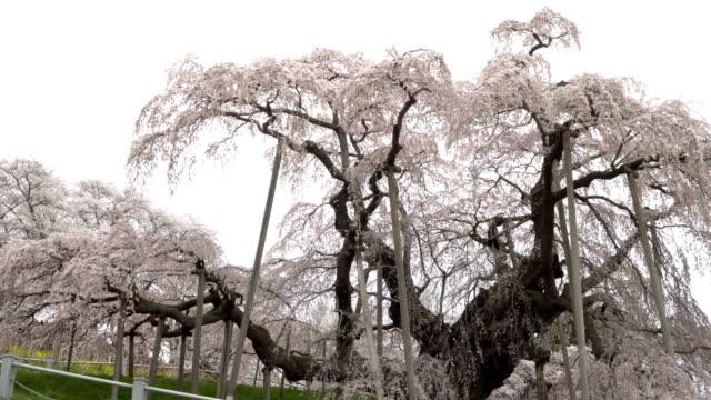 Cherry tree in full bloom video