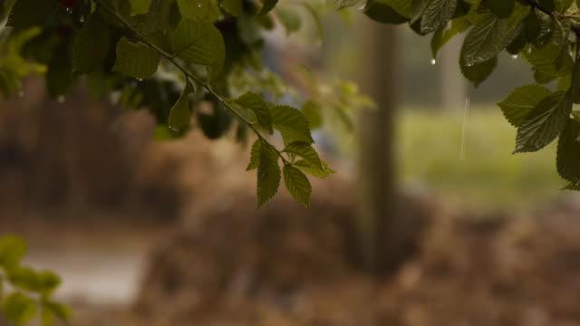 Cherry tree in the rain video