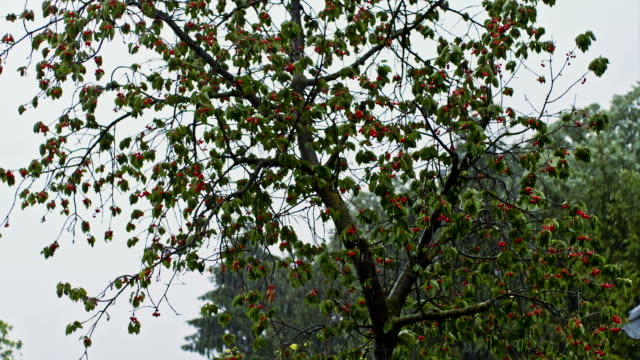 SLO MO Cherry tree in torrential rain video