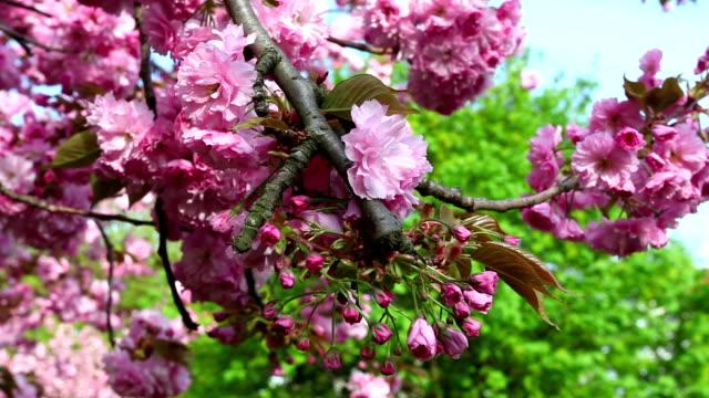 Cherry Tree video
