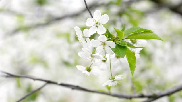 Cherry trees blooming in spring