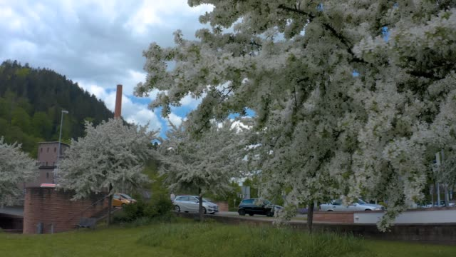 Cherry trees during spring in the city of Calw, Germany video