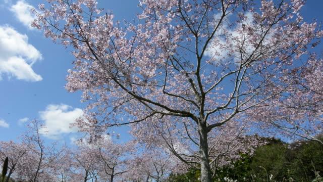 frutteto con alberi di ciliegio - prateria zona erbosa video stock e b–roll