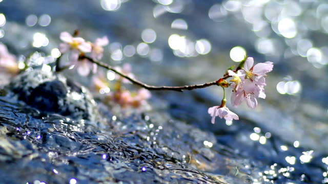 Cherry twig in rapid stream of a mountain river. Cherry branch above water. april stock videos & royalty-free footage