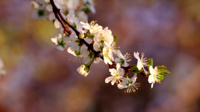 Cherry twig of white blossom trusses with yellow stamens, waving in the spring wind on very blur multicolor background. video
