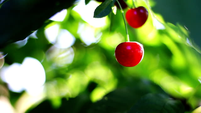 Cherry-tree. Closeup Cherry in natural environment cherry stock videos & royalty-free footage