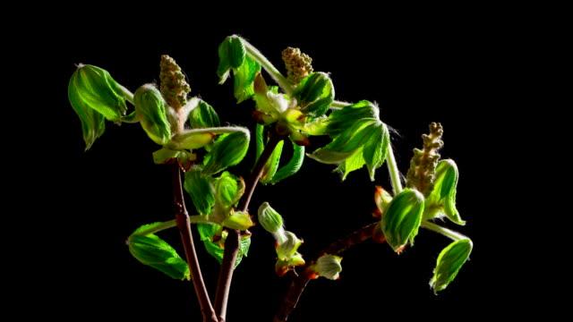 Chestnut Blossom in Timelapse video