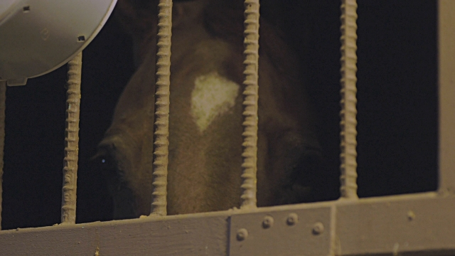 A chestnut horse looks through the bars of its stall in a barn. video
