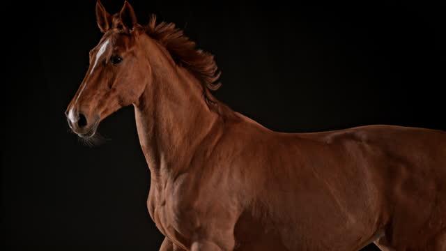 slo mo ts chestnut häst löpning - racehorse track bildbanksvideor och videomaterial från bakom kulisserna