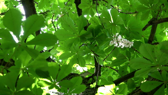 chestnut tree bloom and sunlight penetrate through leaves. 4k - group of people filmów i materiałów b-roll